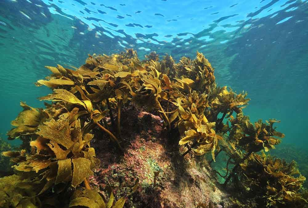 Kelp on submerged rocks